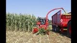 Новое в заготовке силоса из кукурузы.