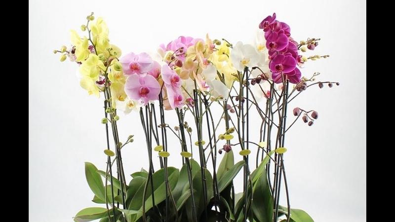 9 из 12 ОРХИДЕЙ дали по ДВА ЦВЕТОНОСА - схема ухода за орхидеями РАБОТАЕТ