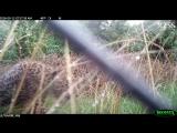 Первые шаги детёнышей в Highland Wildlife Park