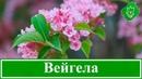 Цветок вейгела посадка и уход обрезка и размножение вейгелы