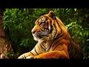 Дикая природа. Мир животных. Амурский тигр. Документальный фильм National Geographic.