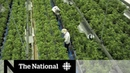 Pot supply worries retailers as legalization draws near