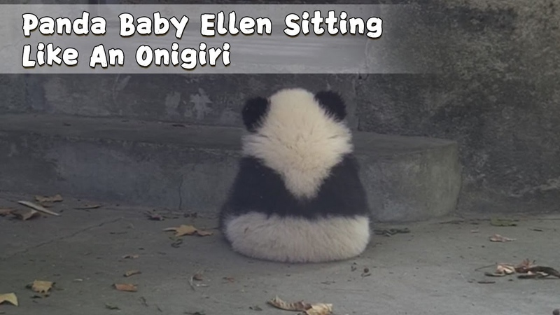 Panda Baby Ellen Sitting Like An Onigiri | iPanda
