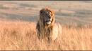 Африка! Львы большие кошки! Красивое видео!