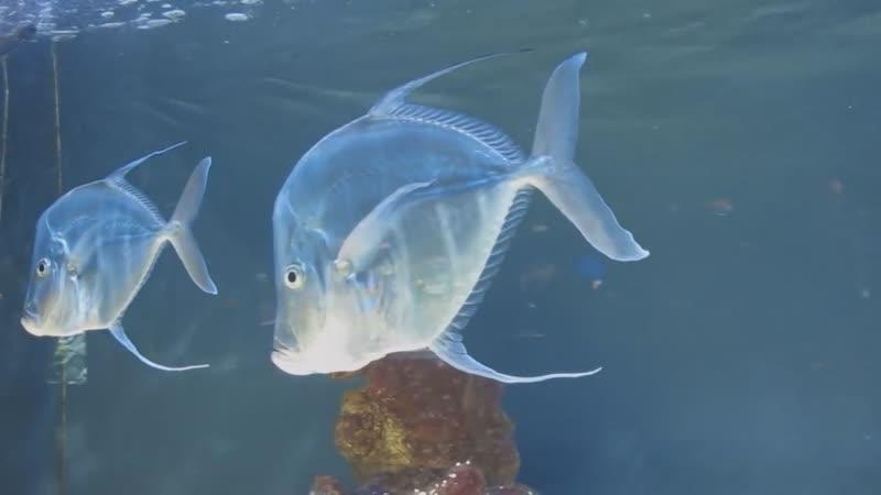 Selene vomer посмотрите вниз рыбы Аквариум Океанографический Музей Монако