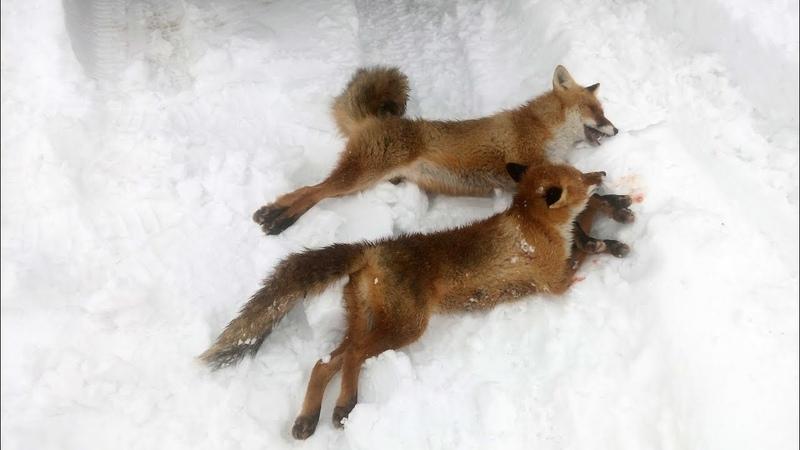 охота на лису с гончими.потрошители лис 7 и 8 лисы сезона