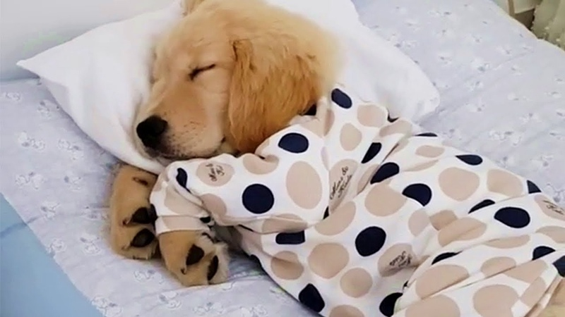 Golden Puppy Sleeping In PJs