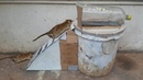 Awesome Quick Bucket Rat/Mouse Trap - Rat Trap In Action