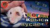 (О) И крыса бывает кусачей, только от жизни собачей! Петюне лучше. (Fancy Rats)
