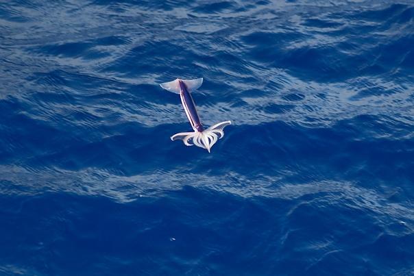 Летучие кальмары Помимо широко известных летучих рыб, существуют и летучие кальмары, обитающие в Тихом океане, но способы их полёта совершенно различны. Рыбы для выскакивания из воды используют