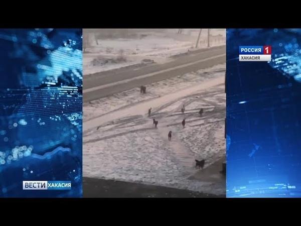 В Черногорске ситуация с бродячими собаками выходит из под контроля . 16.01.2019