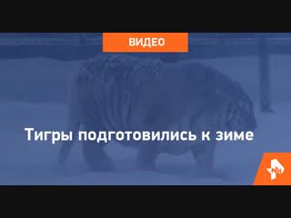Пузатые тигры