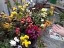 Хризантема и ее особености выращивания