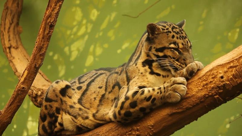 Дымчатый леопард (Neofelis nebulosa) - Пражский зоопарк [Hernani Oliveira]