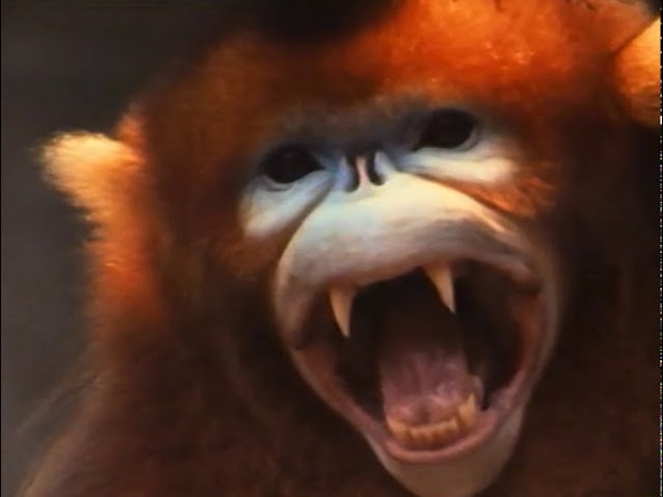 Wild China Monkeys of the Middle Kingdom Monkey Documentary Natural History