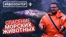 Яволонтер добровольцы Сахалина спасают морских млекопитающих