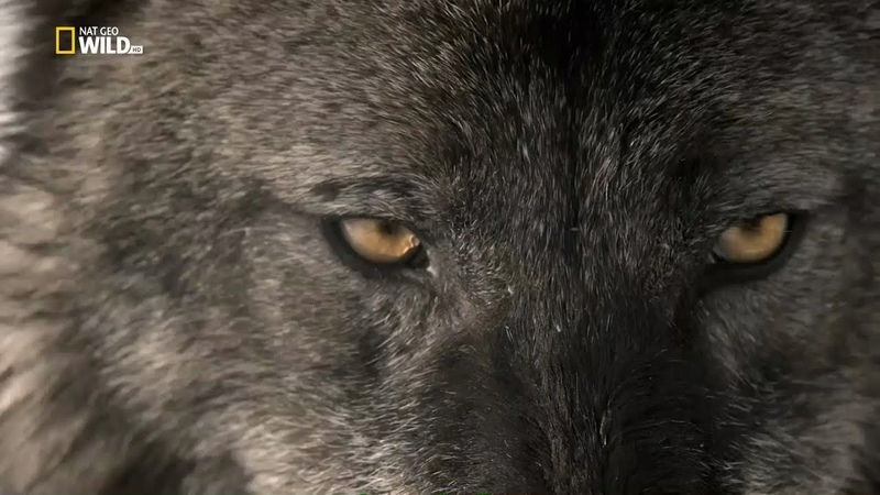 Дикий Йеллоустоун: Огонь и лед - [Full HD 1080i]