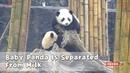 Baby Panda Is Separated From Milk iPanda