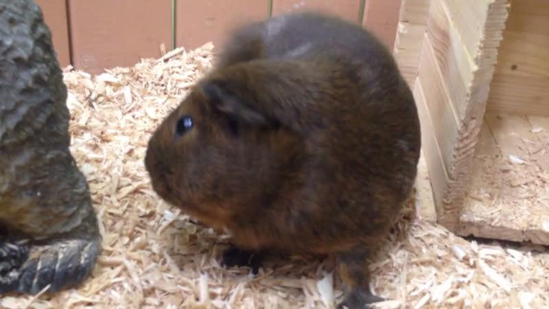 •Guinea pig•