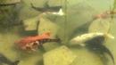 Fishes in pool in old city park. Sunny November 2018