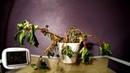 Timelapse: Политое завявшее растение выздоравливает под музыку Моцарта.