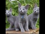 ТОП 10 самых добрых пород кошек. TOP-10 of the kindest breeds of cats.