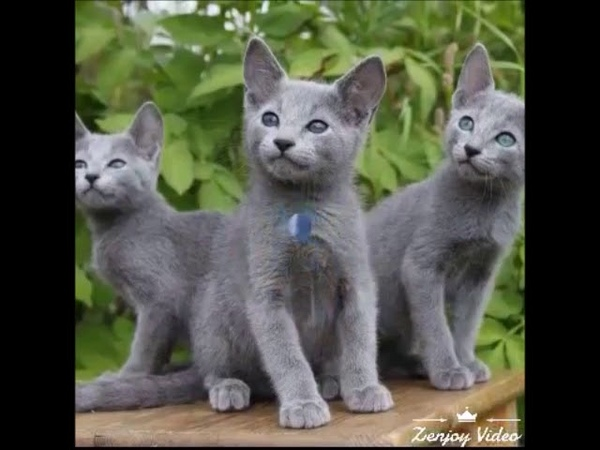 ТОП 10 самых добрых пород кошек TOP 10 of the kindest breeds of cats