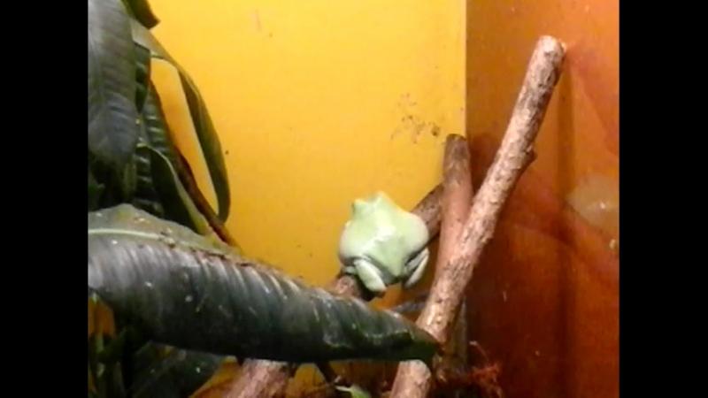 Бледно-зеленая жаба в Ленинградском зоопарке