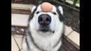 RAW EGG DOG CHALLENGE - ALASKAN MALAMUTE