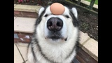 RAW EGG DOG CHALLENGE - ALASKAN MALAMUTE