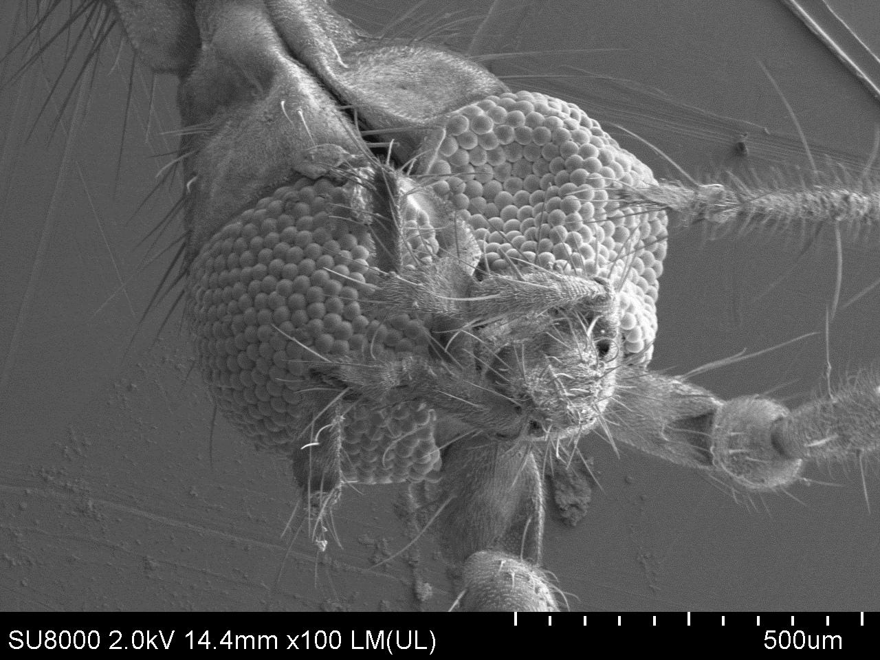 Комар под электронным микроскопом