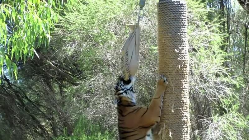 Суматранский Тигр - достать пищу ...