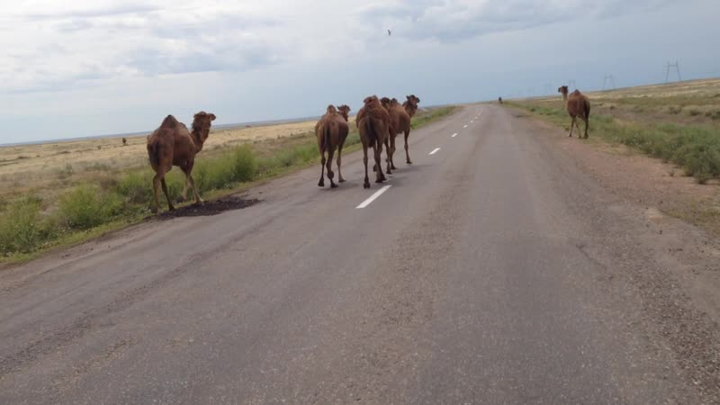 Верблюды бегут перед велосипедом Казахстан