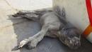 Tiny puppy found taking final breaths saved