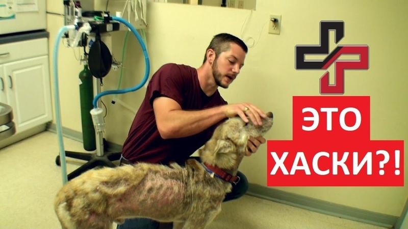 Спасли Хаски.Преображение больной собаки.Ветеринарное ранчо