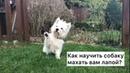 Как научить собаку махать лапой - ДРЕССИРОВКА