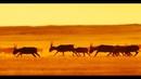 Сайгаки в Калмыкии Завораживающий бег Заповедник Чёрные земли