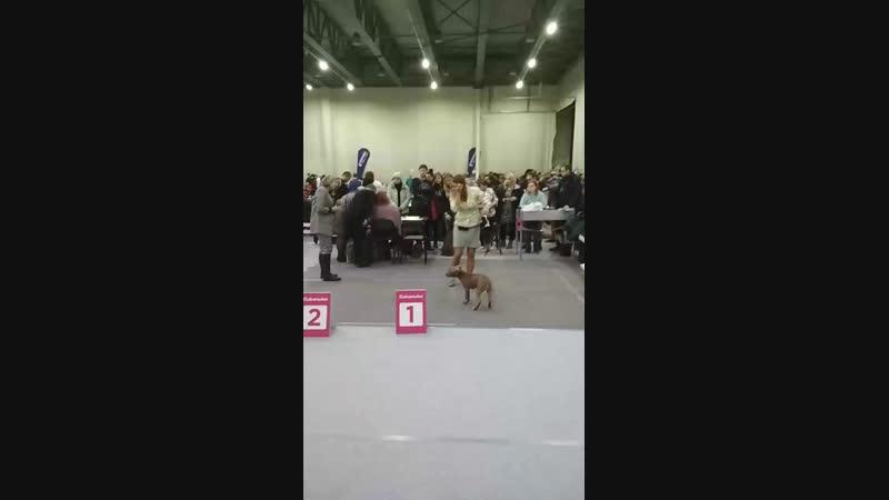 Live Питбули БРЭЙВ ФАЙТЕР * BRAVE FIGHTER'S pitbulls