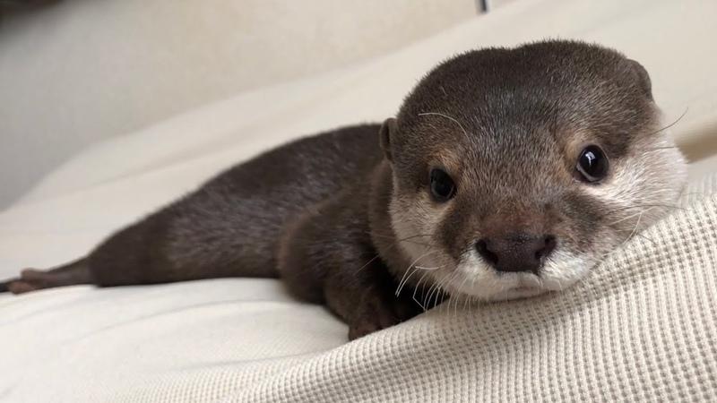 カワウソさくら 起きて起きての催促がやたらうるさい目覚まし Otter of the loud alarm clock