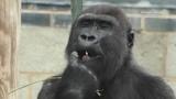 Gorilla Lope Steals Food Of Grandma Biddy