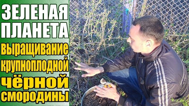 Выращивание черной смородины Смородина с перепелиное яйцо Уход за черной смородиной