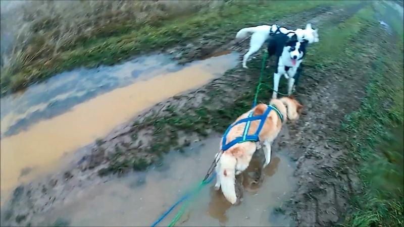Dog training 4.11.2018 байкджоринг с тройкой собак