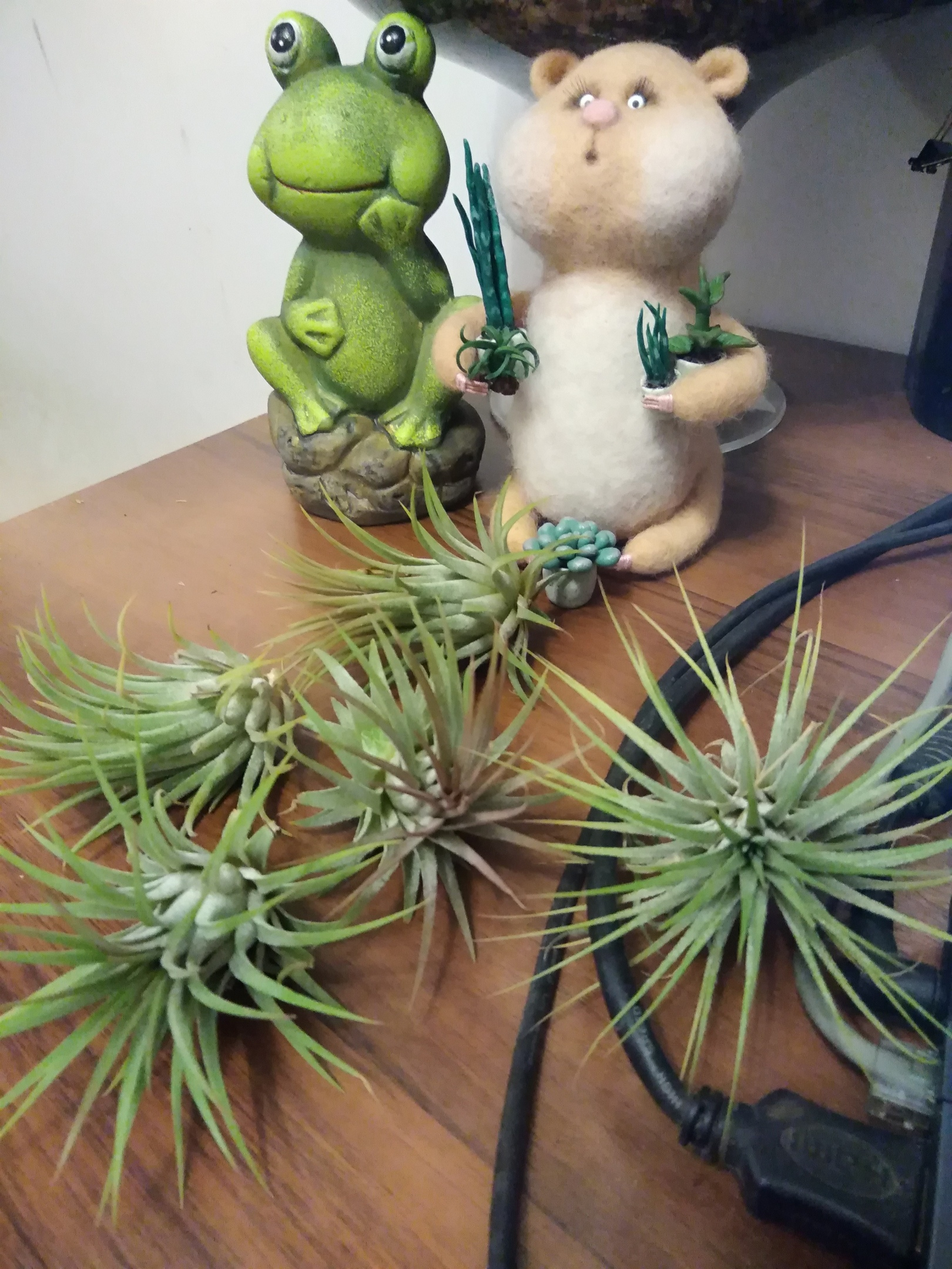 Атмосферные растения (тилландсия) 3XwMUmOQmEI