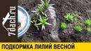 ⚜️ Подкормка лилий для пышного цветения - 7 дач