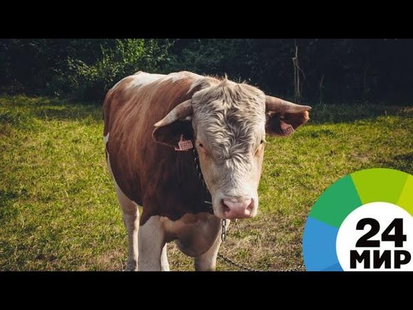 Племя сильных быки тяжеловесы готовятся к дефиле по Москве МИР 24