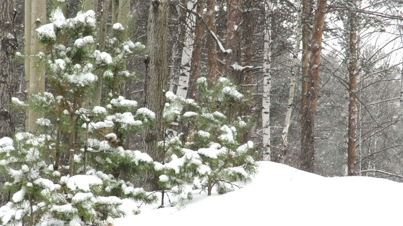 Снегопад в лесу, падает снег, Snowfall in the forest