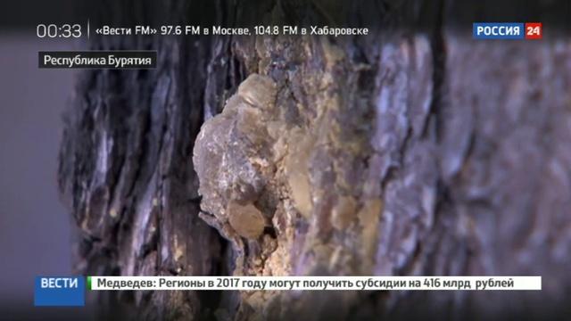 Новости на Россия 24 • В Бурятии осваивают производство жвачки из серы