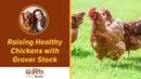 Выращивание здоровых кур / Raising Healthy Chickens