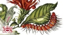 A Curious Performance Maria Sibylla Merian and the Art of Natural History Kate Heard