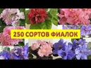 250 сортов фиалок Очередная часть